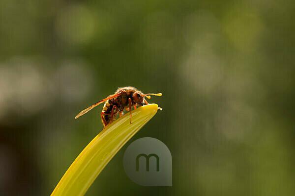 Willow Sawfly, Cimbex luteus,