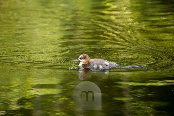 Mergus Merganser, chick, swimming, lake, Finland