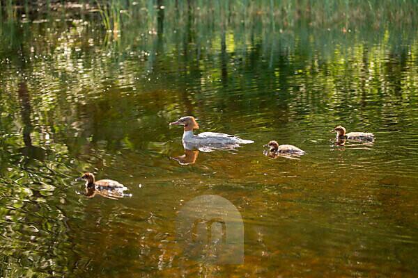 Mergus Merganser, adult female, chicks, swimming, lake, Finland