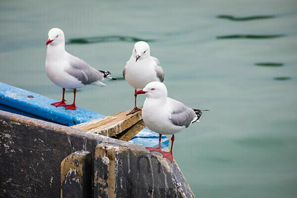 Seagulls on a fishing boat in Akaroa harbor