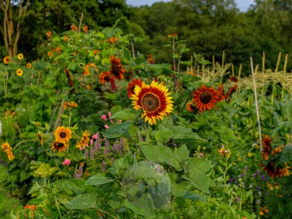 Late summer garden with various sunflowers (Helianthus annuus)
