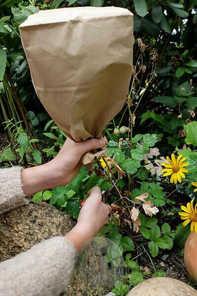 Collect seeds of columbine (Aquilegia vulgaris) in a paper bag