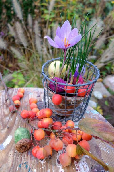 Autumn timeless (Colchicum autumnale) in a wire basket, ornamental apples in front