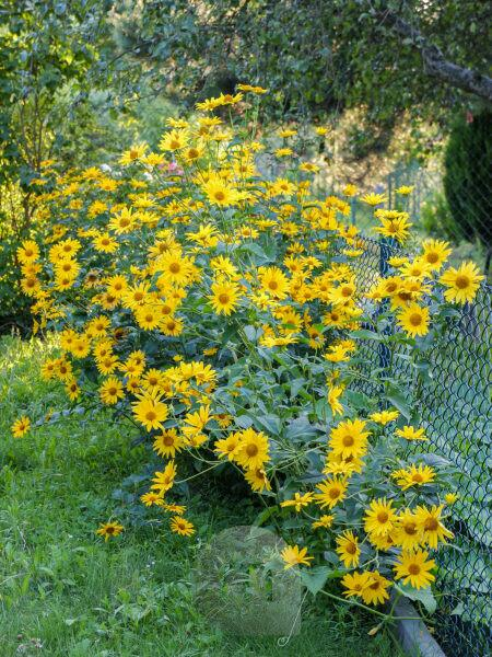 "Yellow coneflower (Heliopsis helianthoides) ""Venus"" grows on the fence"