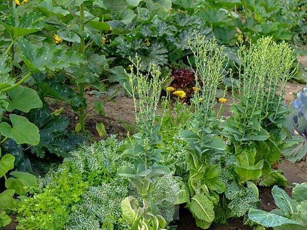 Salad (Lactuca sativa) shot into the flower