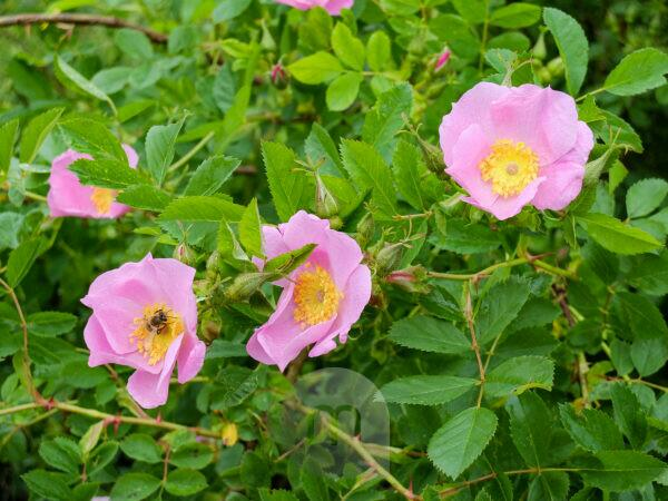 Pink potato rose (Rosa rugosa) flowers in early summer
