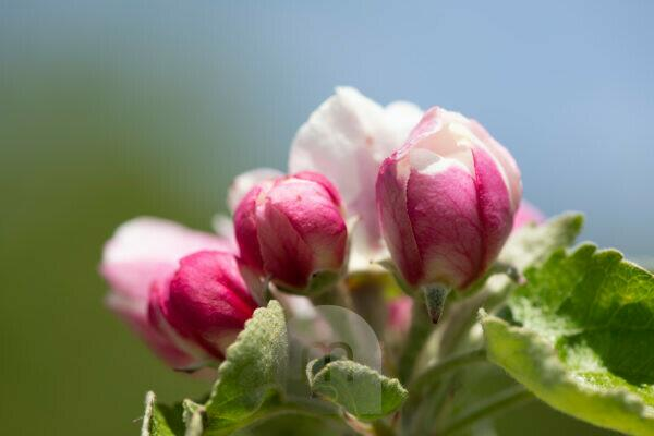 Apfelblüte, Nahaufnahme