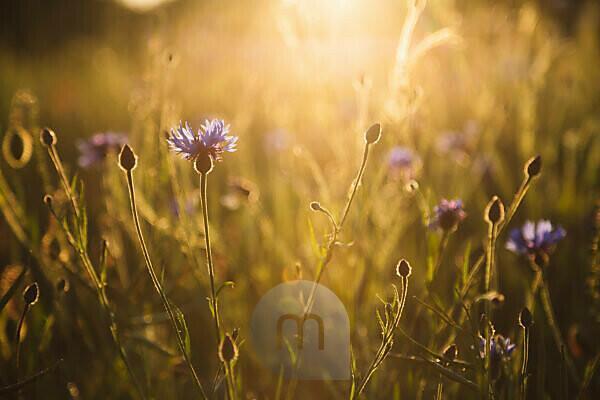 Kornblumen, Mohn, Feld, Sonnenuntergang