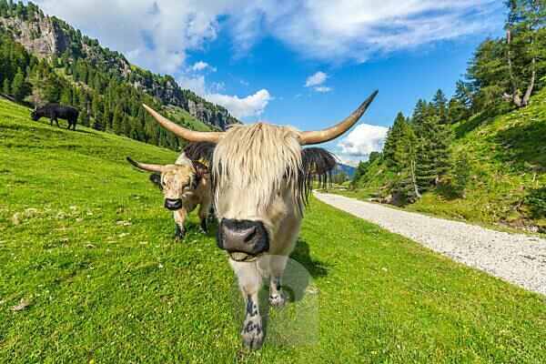 domestic yaks grazing in val duron, val di fassa, campitello di fassa, trentino alto adige, italy