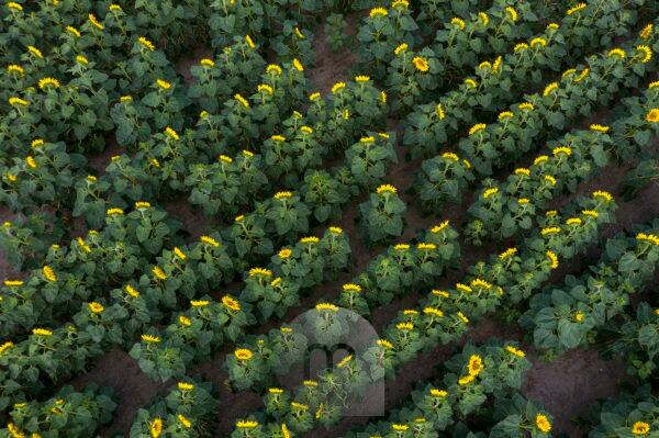 Sunflowers (Taken with a drone)