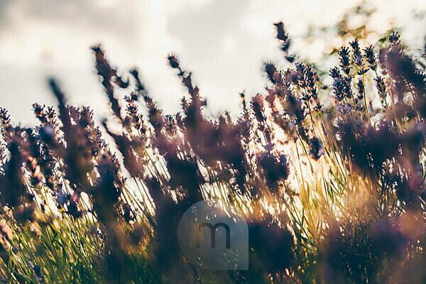 blühender Lavendel im gebrochenen Sonnenlicht