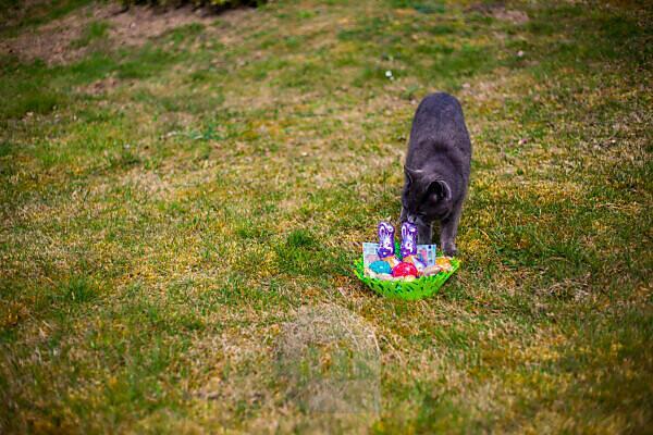 Germany, Bavaria, Easter, Easternest, Cat sniffing at easternest in garden,