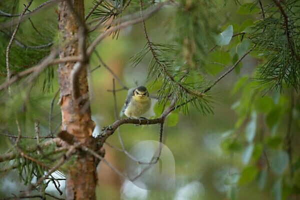 Blue tit (Cyanistes caeruleus) chick, pine tree branch, Finland