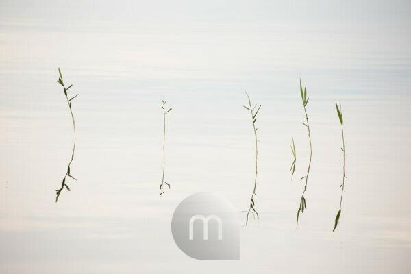 Reed reflection in the lake surface, minimalist lake landscape