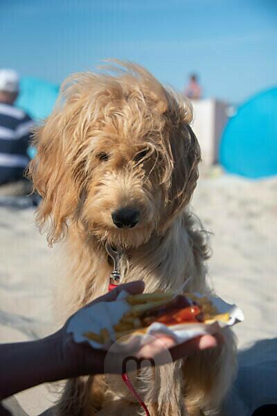 Hund, Mini Goldendoodle, will Pommes Frites essen