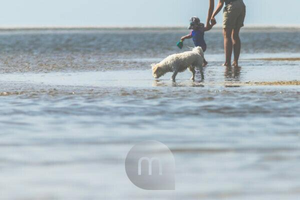 Leisure, sea, people - relaxation on the Wadden Sea. White dog sniffs the sea water. In the background woman with child and toys.