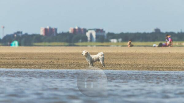 Leisure time and the sea - on the Wadden Sea. A small white dog looks out to sea. In the background the houses of St. Peter Ording