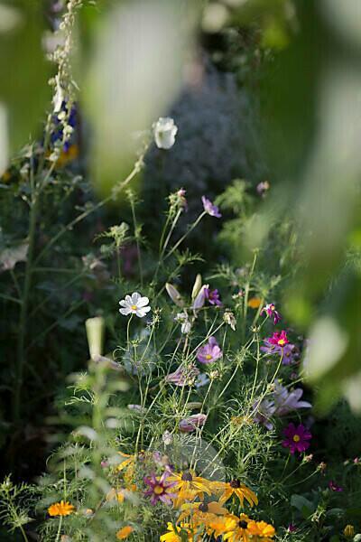 Cosmea in the garden