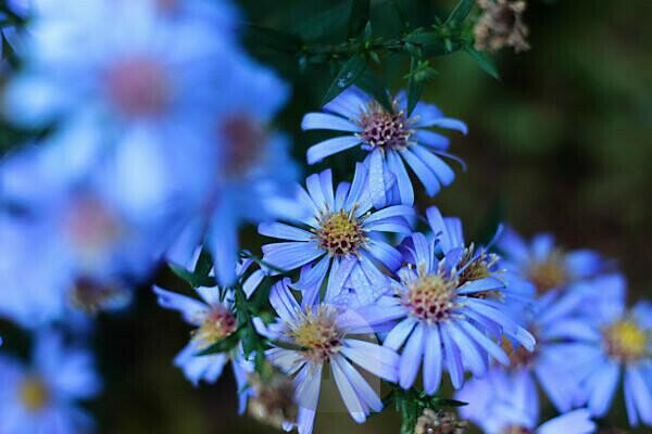 Flowers, blue