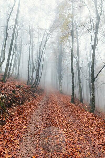 deciduous tree forest in late autumn with fog, Prealps, Mel, municipality of Borgo Valbelluna, Belluno, Veneto, Italy