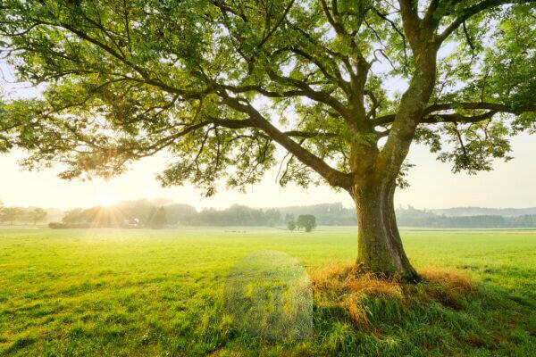 Tree, magically, sun, back rays of light, leaves, meadow, individually, fog, light, atmosphere,