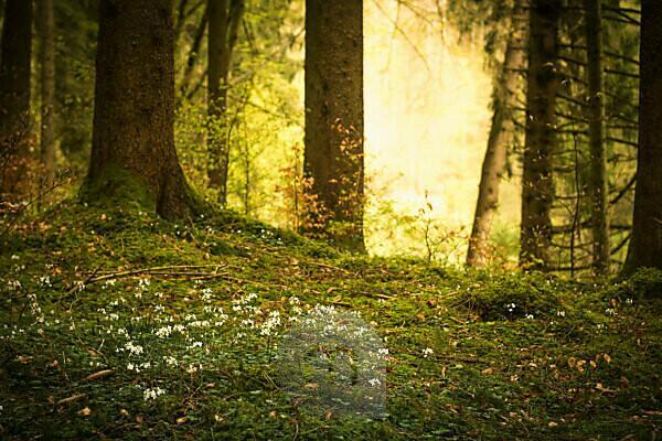 Kleine weiße Blüten vor einer Waldlichtung, durch die die Sonne scheint,