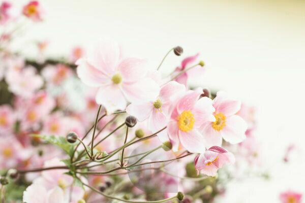 Blossoms of the windflower in gentle pastel colour