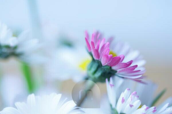 Daisies in a meadow,