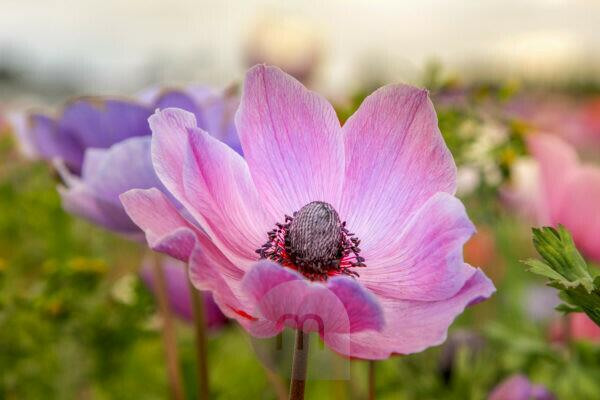 close-up of a poppy anemone, anemone coronaria