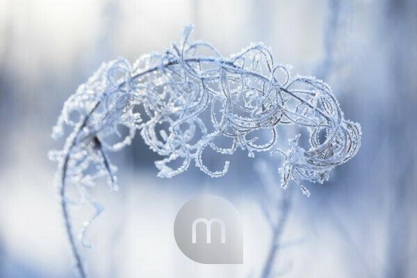 Ice crystal on dried plant, willowherb