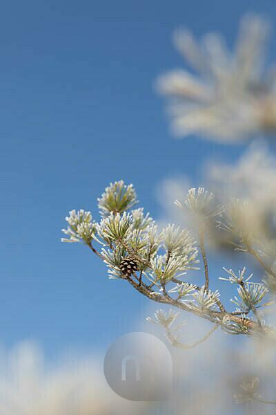 Kiefernzapfen im Winter an Baum