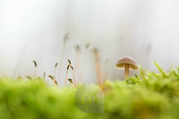 Pilz im Moos, Nahaufnahme