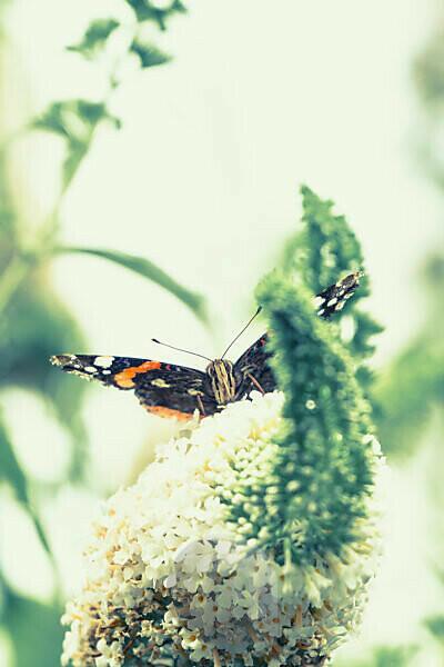 Schmetterling, Admiral auf einer Blüte, frontal