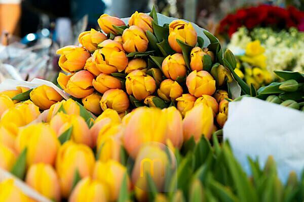 frische gelbe Tulpen