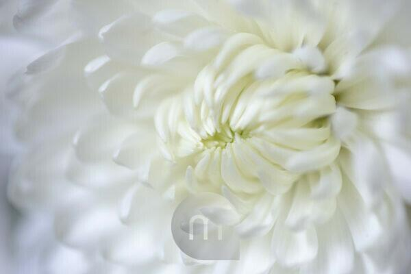 Close-up of chrysanthemum petals, white tone