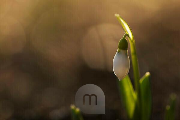 Snowdrop in morning light
