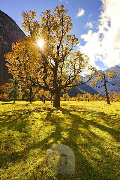 Ahornbaum im Engtal, mit Gegenlicht der Sonne