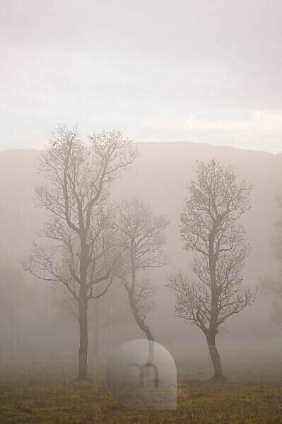 Herbstliche Ahornbäume im Nebel.