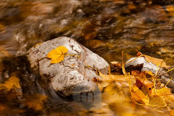 Autumnal maple foliage in a stream course, leaf was washed on a stone.
