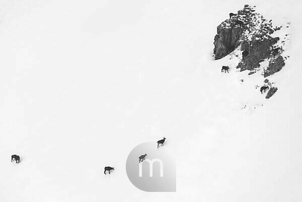 Eine Gruppe Gämsen bei Schlechtwetter im Winter an einem Berghang der Soierngruppe im Karwendel.