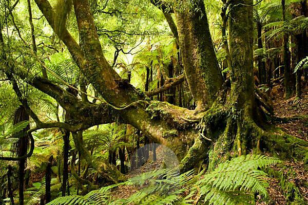Alter fest verwurzelter Baum im tropischen Wald von Neuseeland