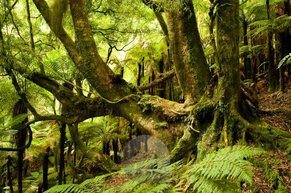 old solidly rooted tree in the tropical wood of New Zealand