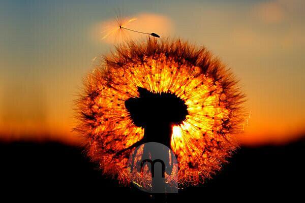 blowball in the evening light