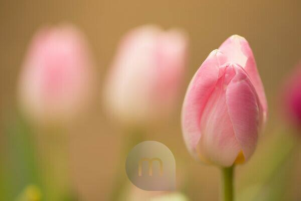 Delicate pink tulips in springtime