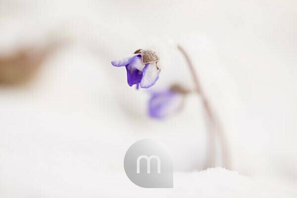 Close-up of snow-covered hepatica (Hepatica nobilis)