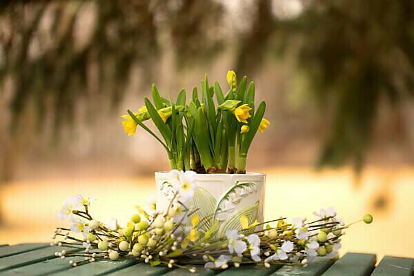 Flowering daffodils in flowerpot, garden decoration