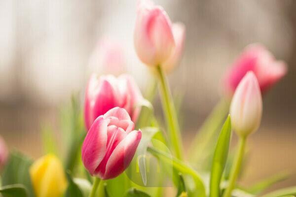 Joy of colorfull tulips in springtime