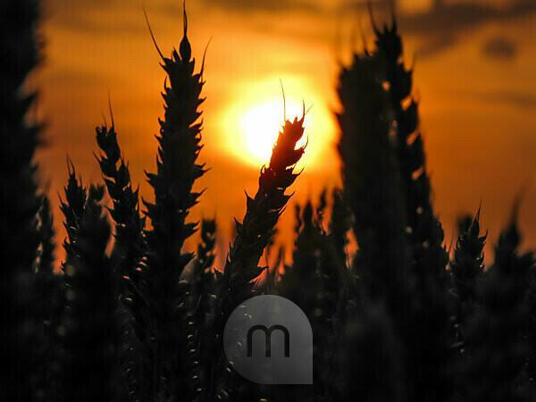 Ein Getreidefeld im Sonnenuntergang, Close-up