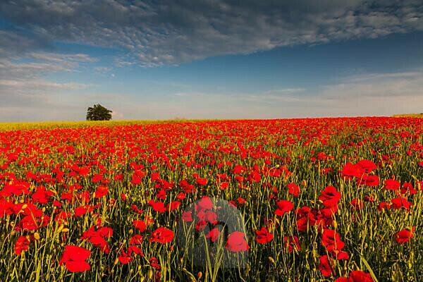 Europe, Poland, Krakow-Czestochowa Upland. Poppy. Fields poppy