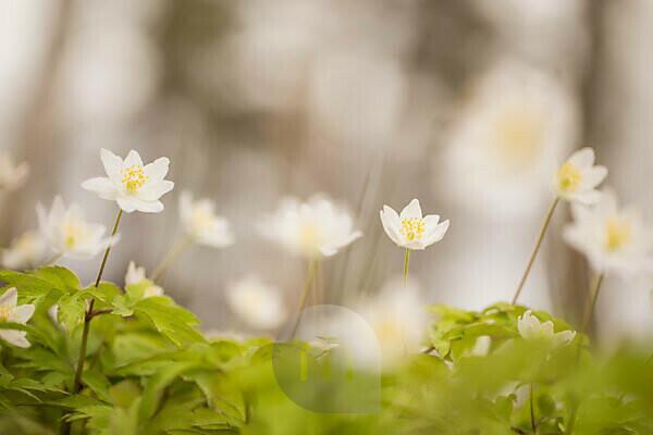 Wood Anemones in the wind, Anemone nemorosa